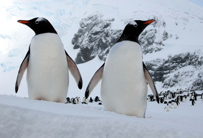 Gentoo Penguins - Flickr David Stanley